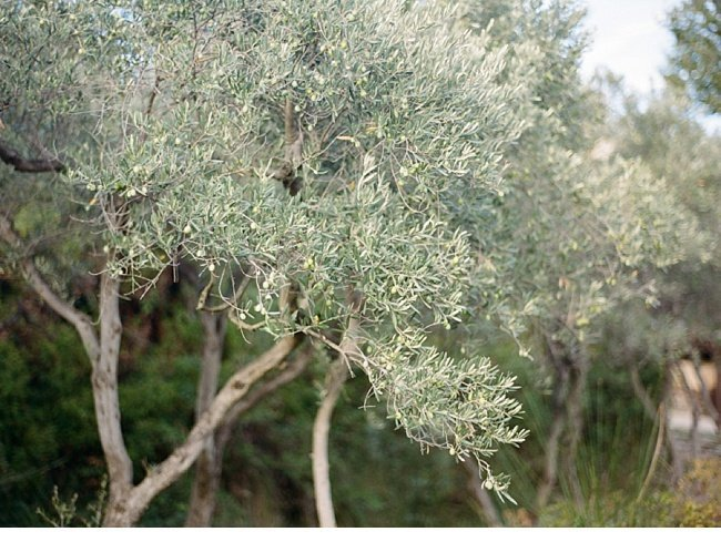 lavender olive grove provence wedding shoot 0016